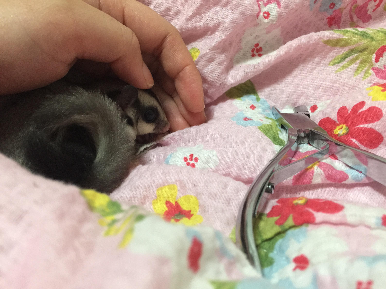 フクロモモンガの爪切り