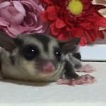 フクロモモンガのクラシック ♀