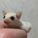 手の上のフクロモモンガ